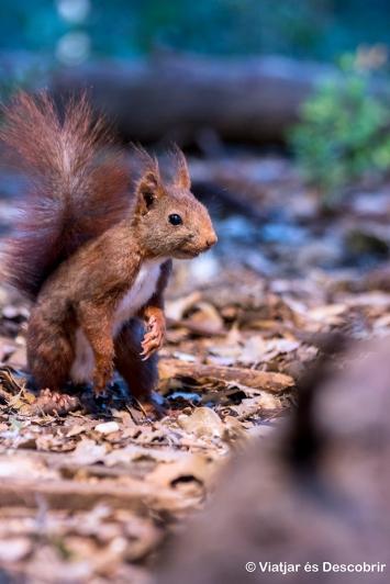 Sant Esteve de Guialbes, 2015. Al matí podem veure molts esquirols des de l'aguait.