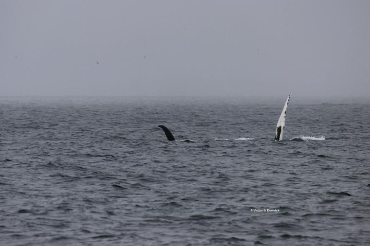 Balenes geperuda