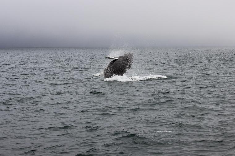 Balena geperuda