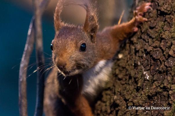 Esquirol 2