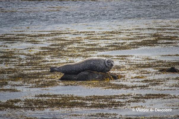 Després de caminar una estona...trobem la primera foca!