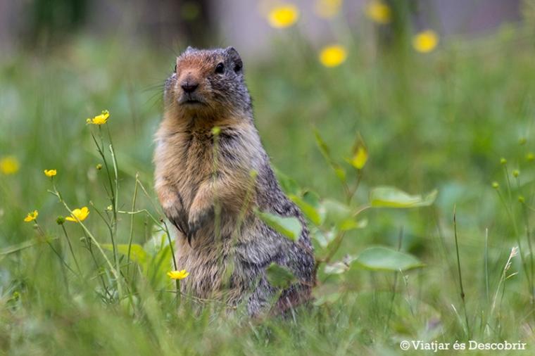 Les Columbian Ground Squirrels estan per tot a arreu. I ens encanta!