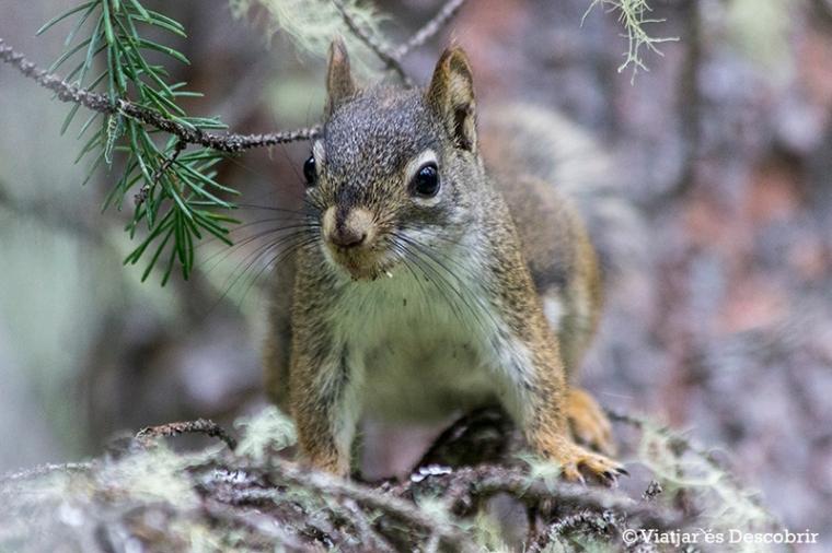 Durant la primera caminada també veiem esquirols entre els arbres.
