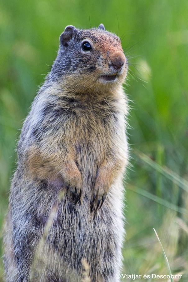 A Cascade Pond també trobem molts Columbian Ground Squirrels.
