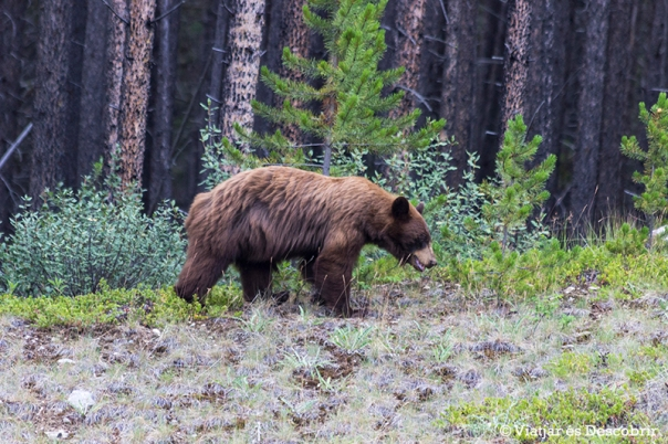 Per fi veiem un ós! És un ós negre de color marró.