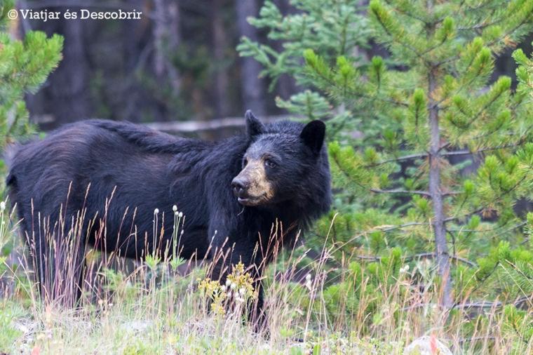 Veiem un preciós ós negre de camí al Moraine Lake