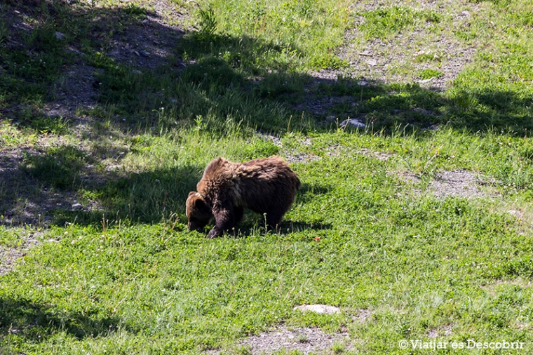 Pujant amb telefèric veiem el primer ós grizzly!