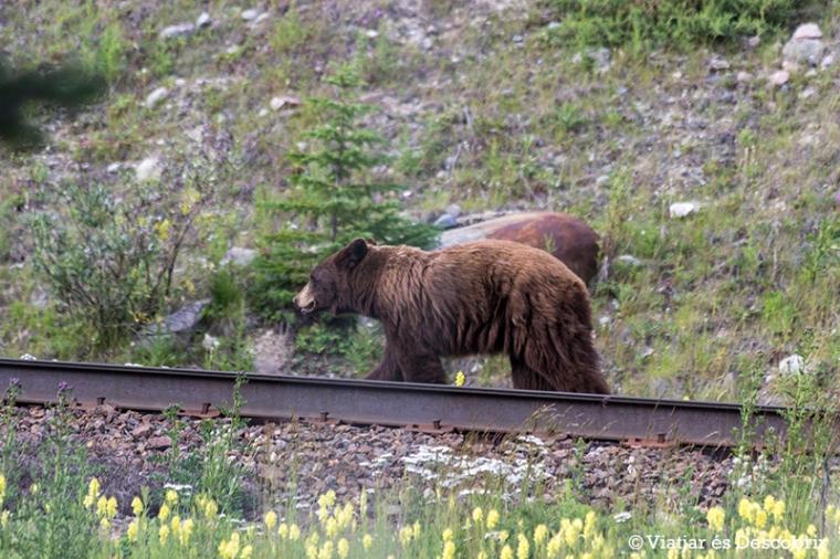 Acabem el dia veient un ós negre marró quan anem cap a Field. El veiem al costat de la carretera, a les proximitats dels Kicking Horse Pass.