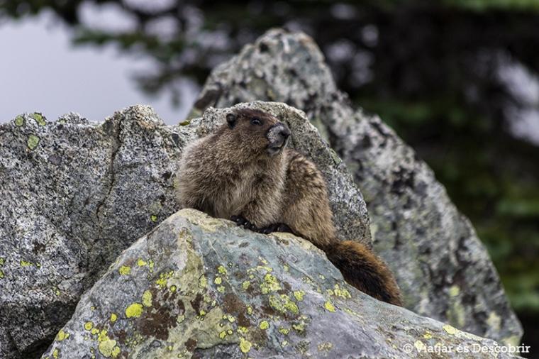 I ens trobem amb dues marmotes!