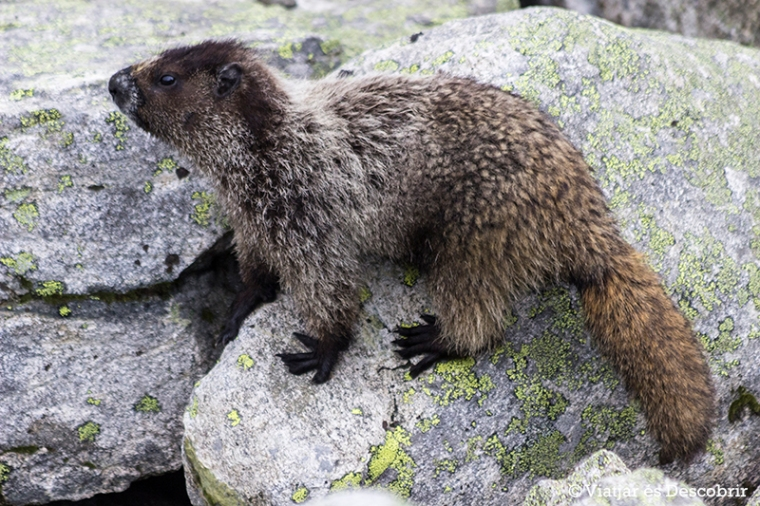 Mai haviem vist marmotes de tant a prop.
