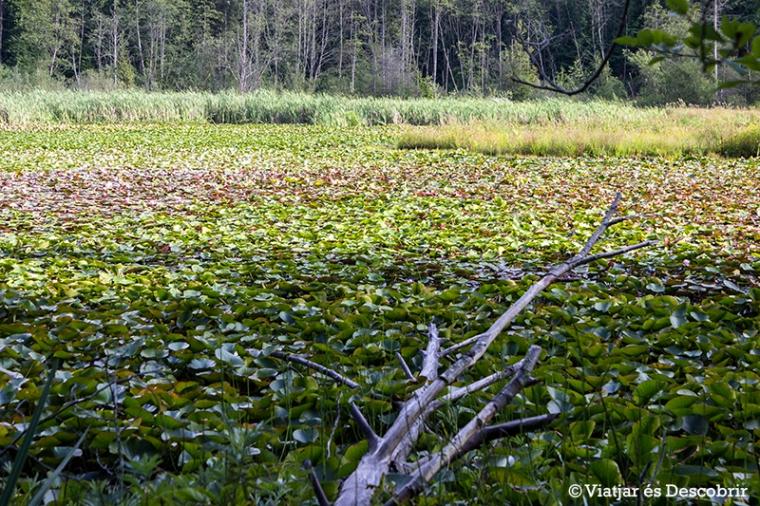 El Beaver Lake, dins l'Stanley Park.