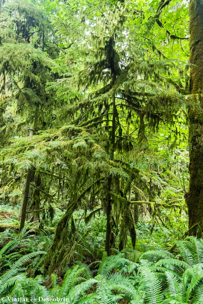 Al bosc hi ha exemplars de Bigleaf Maple. D'aquest arbre, com el seu nom ja indica, s'obté el maple. Als canadencs els hi encanta!