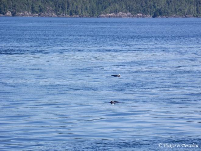 Mentre dinem, veiem algunes marsopes de Dall.