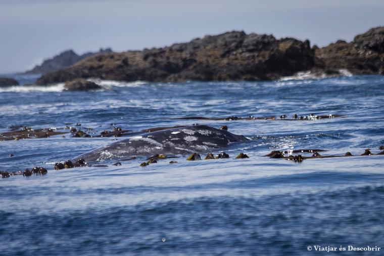 Apareix la primera balena grisa!