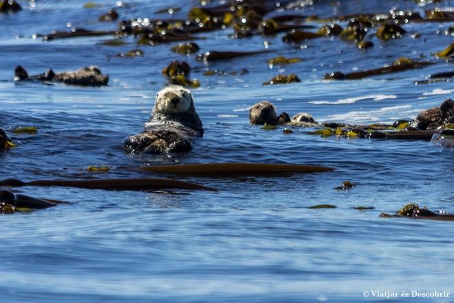 Les llúdrigues marines són una dels animals amb major densitat de pèl. Això els hi permet flotar.