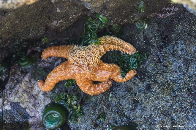 Veiem un exemplar de les famoses estrelles de mar.
