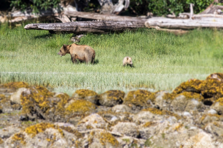 Just després de canviar d'embarcació, ja veiem una óssa grizzly amb la seva cria.