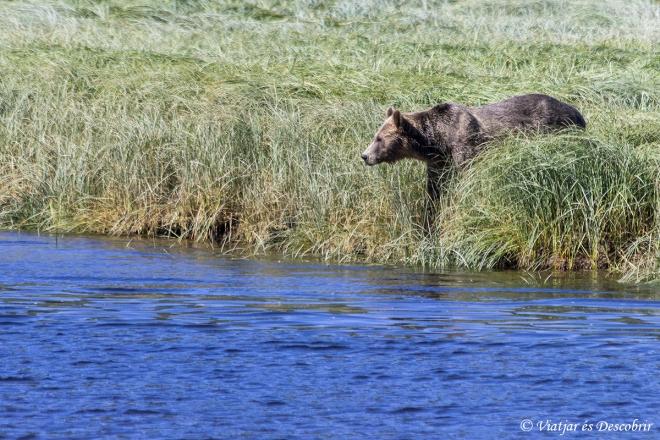 El quart ós és un adult enorme.