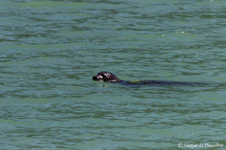 Mentre busquem els óssos, també veiem algun lleó marí.