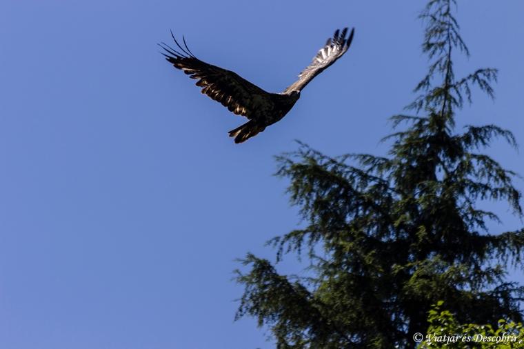 Al bosc hi ha moltes bald eagles. I n'hi ha algunes de joves, com la de la foto.