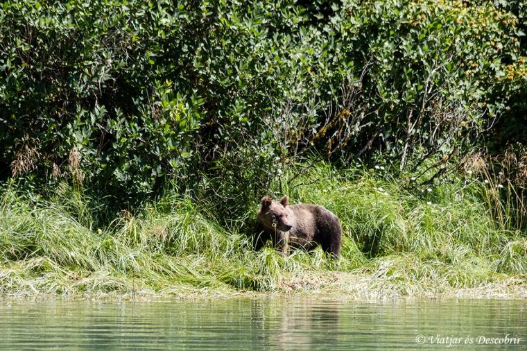 Ens acomiadem del Knight Inlet, contemplant un últim ós grizzly.