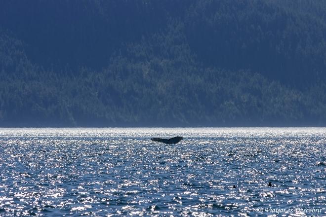 Durant la tornada, veiem vàries balenes geperudes.