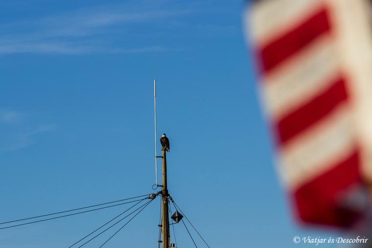 Les Bald Eagle, un dels símbols d'Estats Units i Canadà, es poden veure fàcilment a Port McNeill.