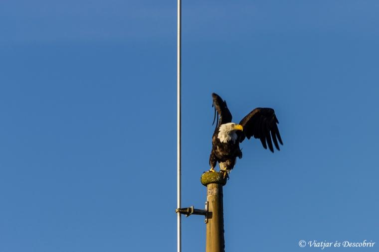 balg eagle