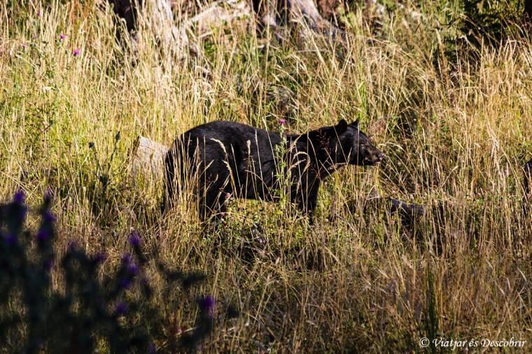 No esperàvem veure un ós tant a prop de Telegraph Cove.