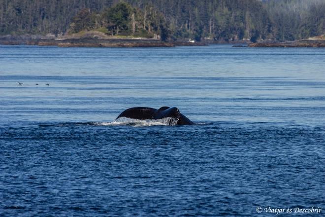 Però ràpidament desapareix. I apareixen les balenes geperudes!
