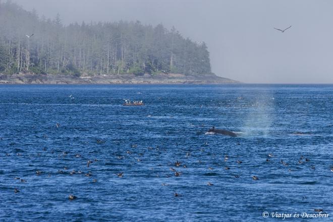 Els ocells indiquen les zones on hi ha més aliments i, conseqüentment, balenes.