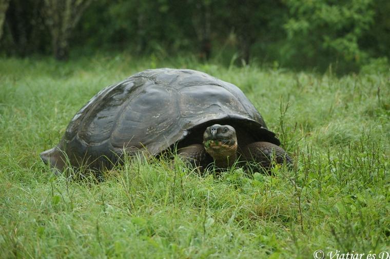 Passejar entre les tortugues gegants de les Galàpagos és impressionant.