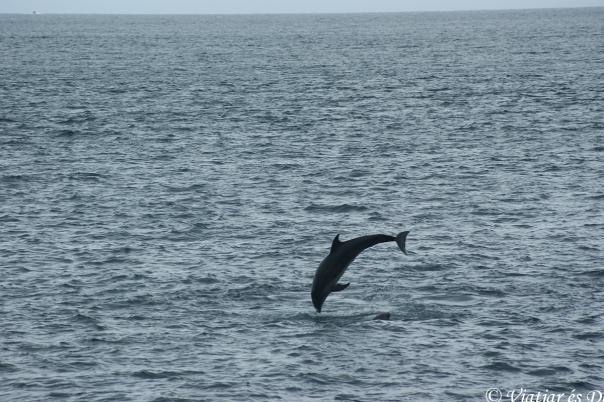 Durant un trajecte vam gaudir de la companyia d'un gran grup de dofins.