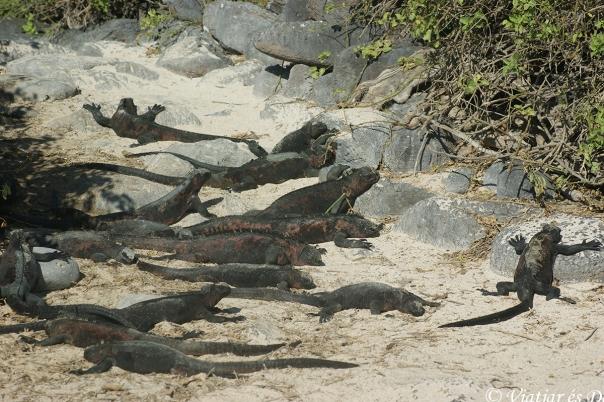 Les iguanes marines són una de les espècies més singulars de les Galàpagos.