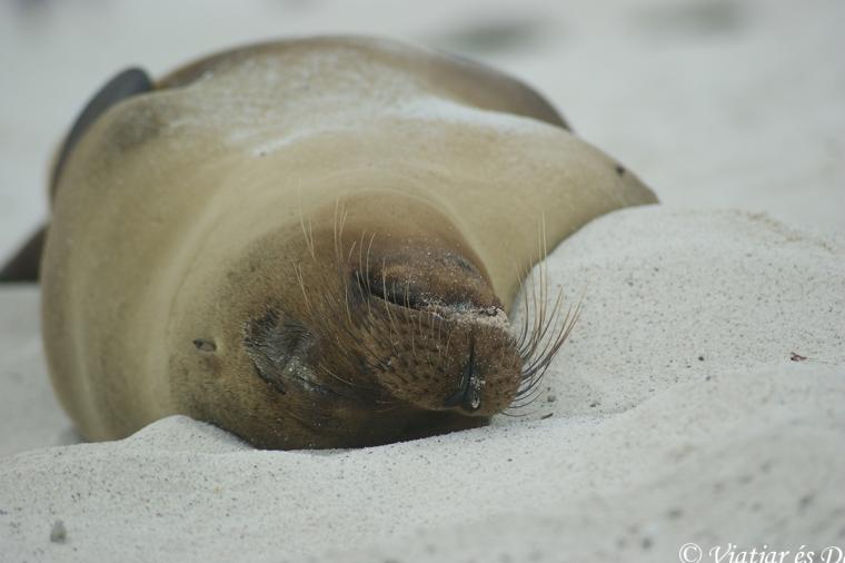 Desenes de lleons marines descansen a la Bahía Gardner