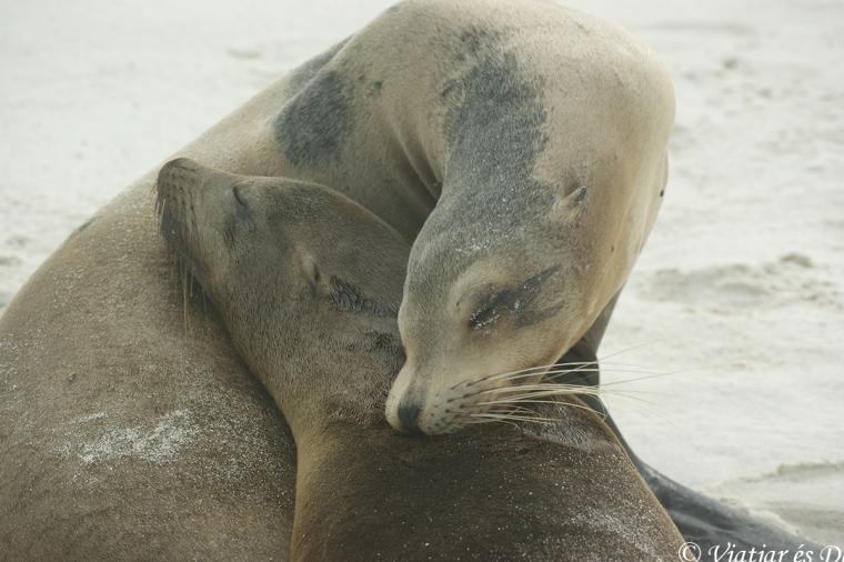 Lleó marí Galàpagos