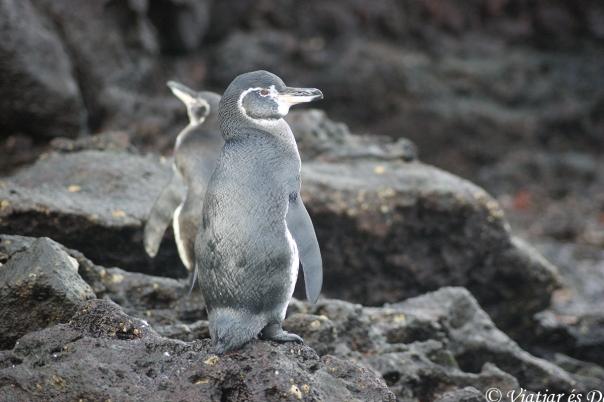 ...., fins a pingüins. Els més petits del món!
