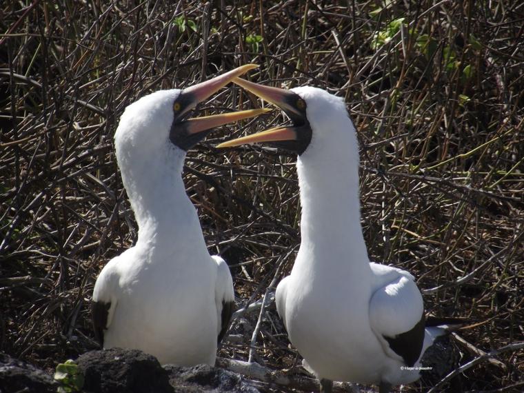 Els mascarells de Nazca són uns ocells molt actius. No paren d'interectuar!