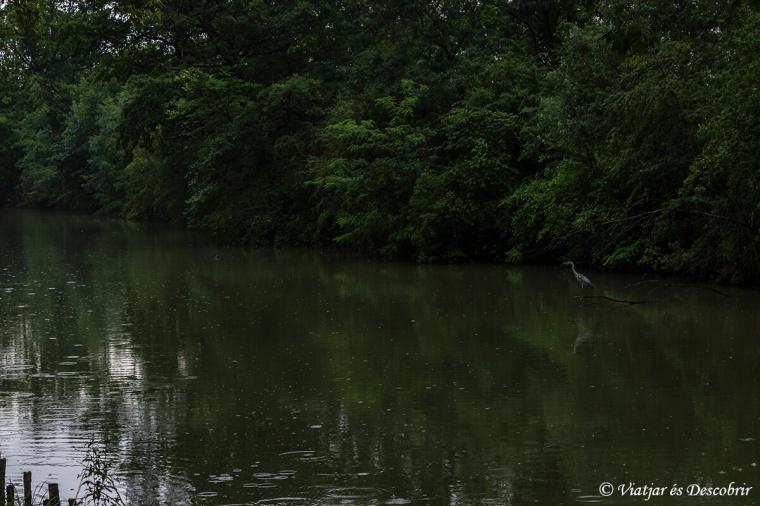 Mentre pedalo entre la pluja, em trobo amb molts bernats pescaires i altres ocells.