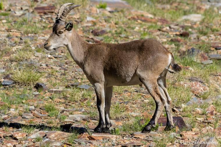 Cabra salvatge iberica