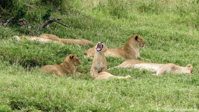 kenya-lleons