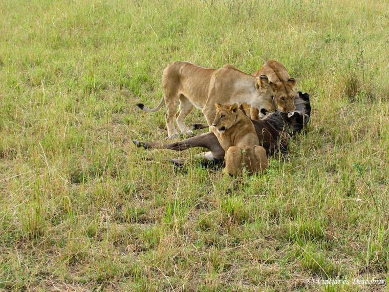 kenya-masai-mara-lleons