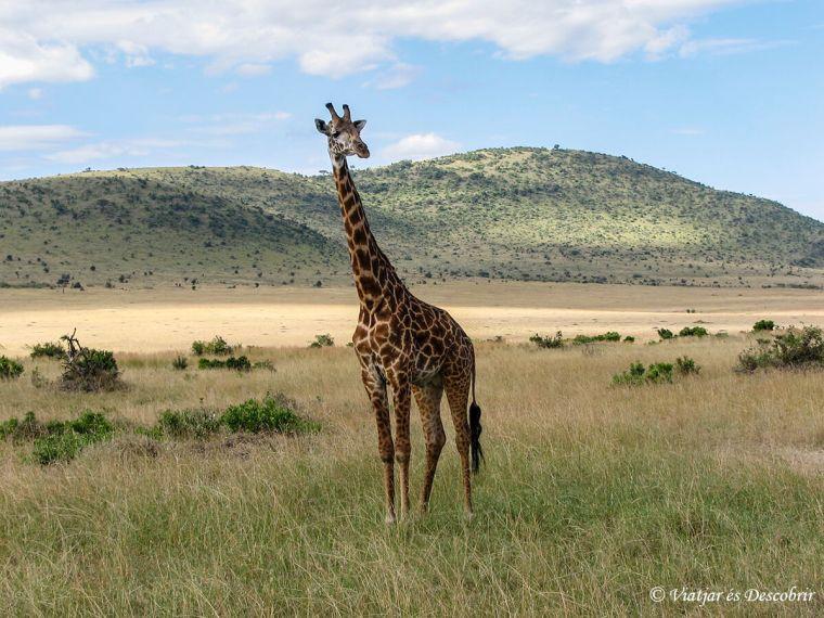kenya-safari-girafa