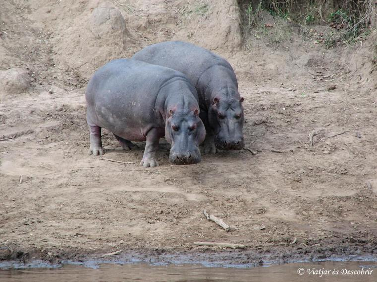 kenya-safari-hipopotam