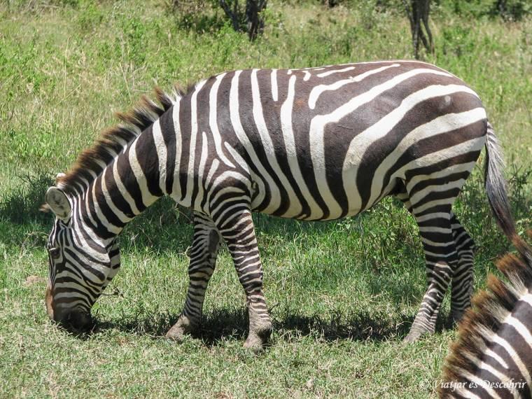 kenya-zebra