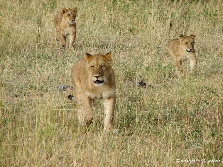 lleons-kenya