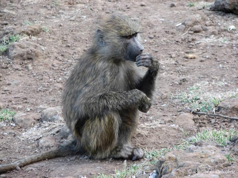 macaco-kenya