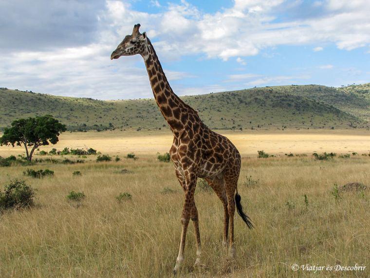 masai-mara-girafa