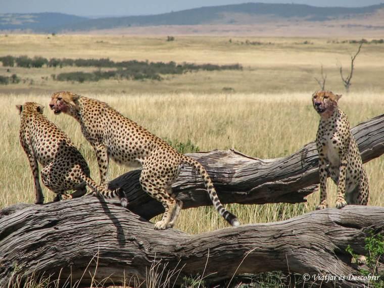 masai-mara-guepard