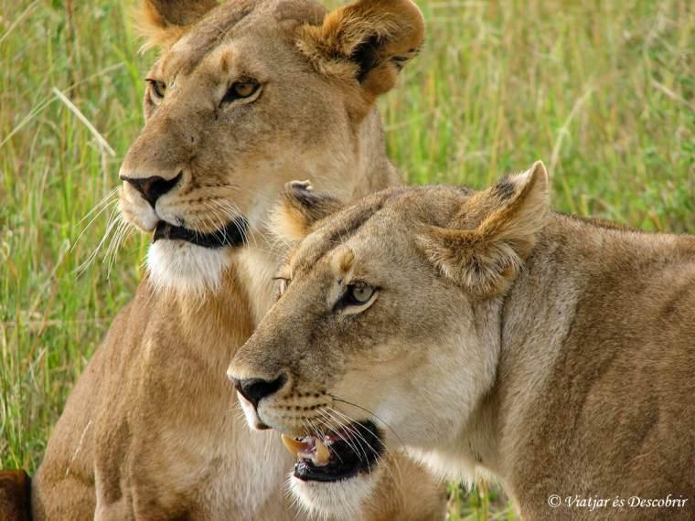 masai-mara-lleons